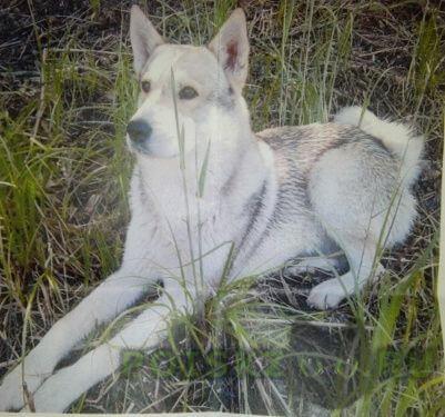Пропала собака кобель лайка г.Нижний Новгород