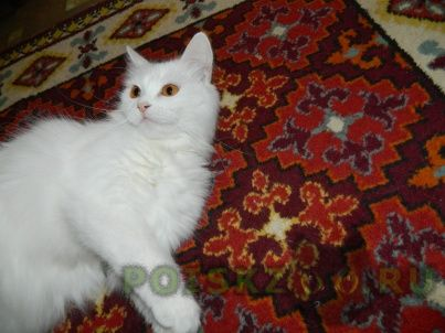 Пропала кошка г.Тольятти
