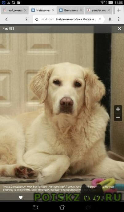 Пропала собака золотистый ретривер г.Домодедово