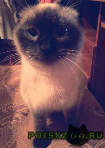 Найдена кошка сиамская Малоярославец