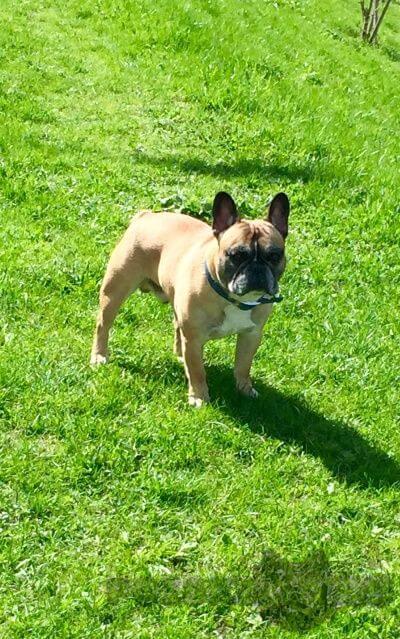 Пропала собака кобель французский бульдог г.Санкт-Петербург
