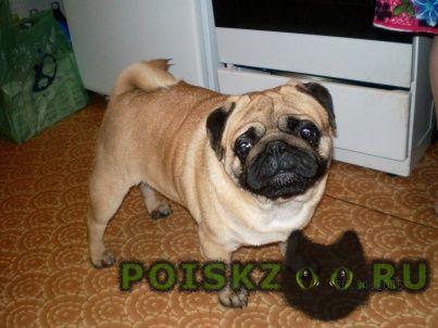 Найдена собака кобель мопс г.Нижний Новгород