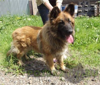 Пропала собака кобель 01.02.2016 крупная длинношерстная палевая овчарка г.Невинномысск