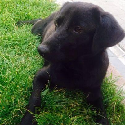 Найдена собака щенок (девочка) похожа на черного лабрадора г.Нижний Новгород