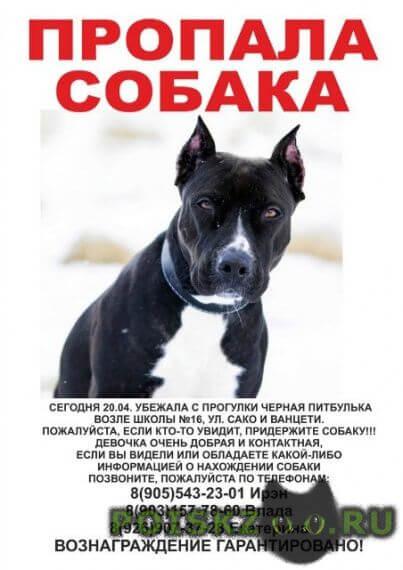 Пропала собака убежала черная питбулька г.Королев