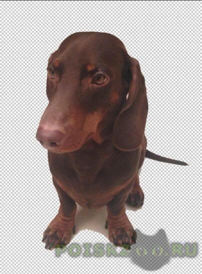 Пропала собака кобель в мытищах такса коричневая ричи, клеймо gav 520 г.Мытищи