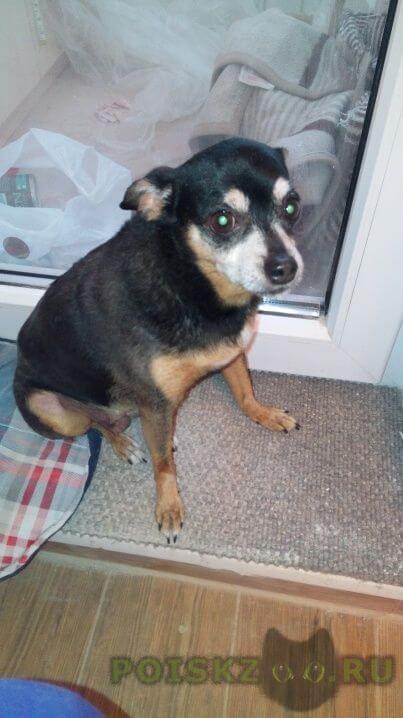 Найдена собака 04.10.2015 (сука, метис, той терьер чихуахуа, примерно 7-9 лет) г.Москва