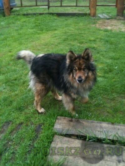 Найдена собака кобель карелия г.Гирвас