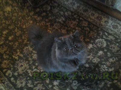Пропал кот персидский г.Лобня