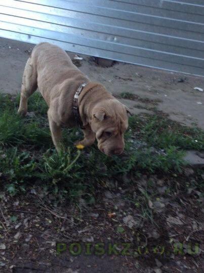 Найдена собака шарпей девочка г.Омск