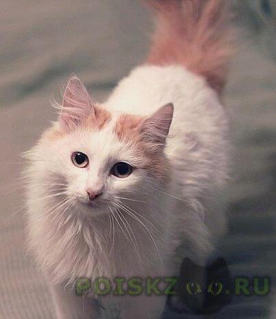 Пропал кот белый пушистый с рыжим хвостом г.Москва