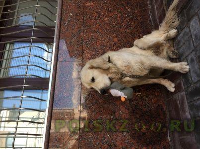 Пропала собака кобель голден ретривер г.Казань