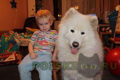 Пропала собака кобель самоед г.Подольск