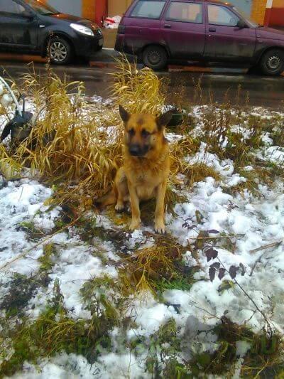 Найдена собака кобель немецкая овчарка. г.Железнодорожный (Московск.)
