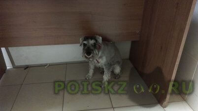 Найдена собака миттельшнауцер на проезде якушкина - 1 г.Москва