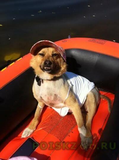 Пропала собака рыжая собачка в ском районе г.Чехов