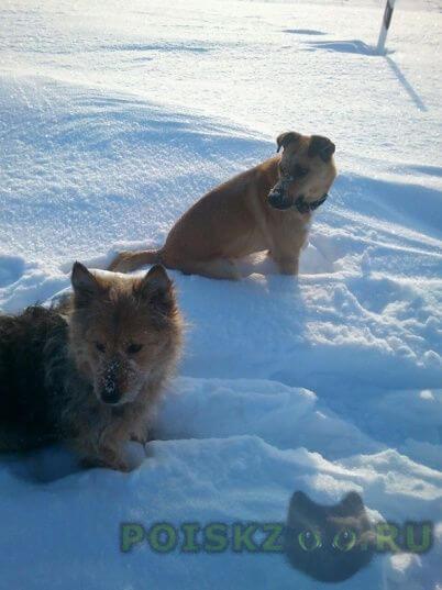Пропала собака и 2 домашние собаки г.Коломна