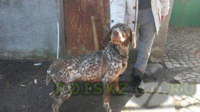 Найдена собака кобель на трассе м24 курцхаар, мальчик. г.Таганрог