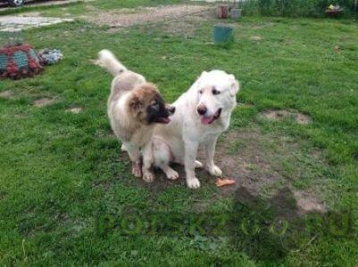 Пропала собака убежали алабай и кавказская овчарка  г.Солнечногорск