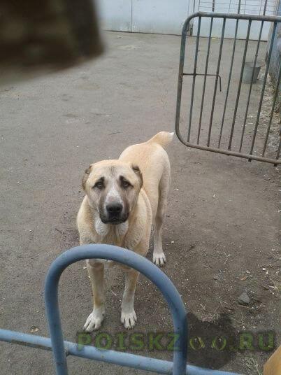 Пропала собака среднеазиатская овчарка г.Магнитогорск