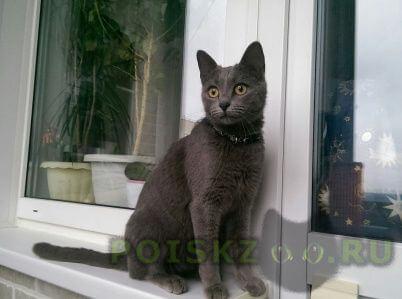 Найдена кошка похожа на русскую голубую или британку. г.Москва