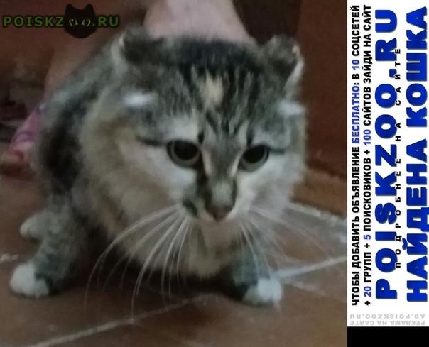 Найдена кошка шотландская вислоухая г.Красноярск