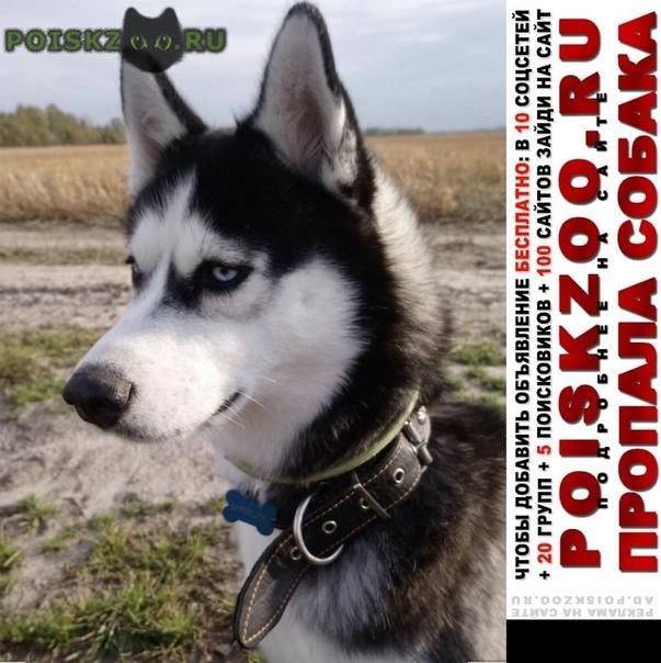 Пропала собака хаски  г.Жуков