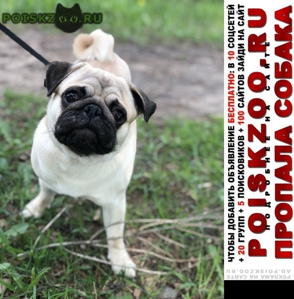 Пропала собака кобель мопс г.Тула