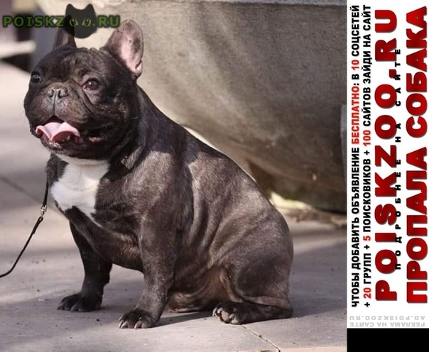 Пропала собака кобель французского бульдога Ростов-на-Дону