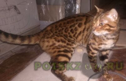 Найден кот бенгальской породы молодой г.Москва