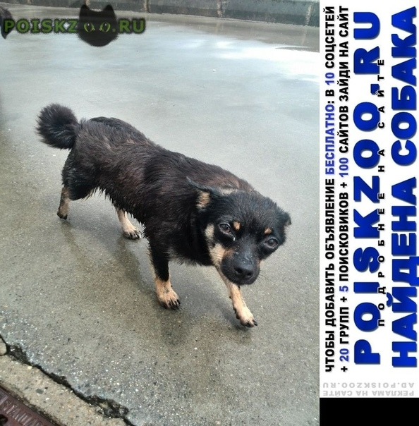 Найдена собака чихуа или метис г.Адлер