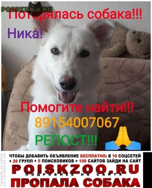 Пропала собака ника пропавшая г.Голицыно (Московская обл.)