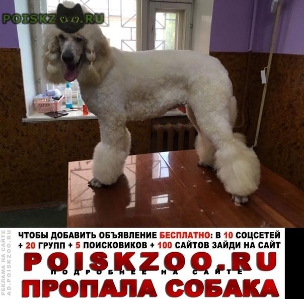 Пропала собака большой белый пудель, девочка г.Вологда