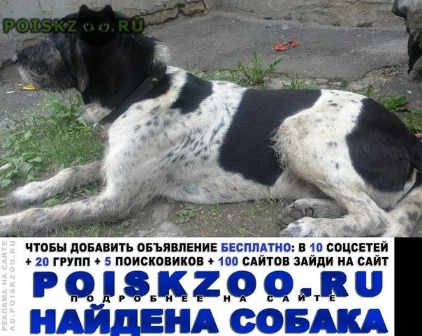 Найдена собака кобель метис курцхаар г.Челябинск