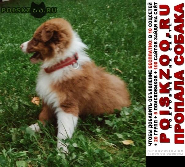 Пропала собака кобель щенок аусси австралийская овчарка г.Москва