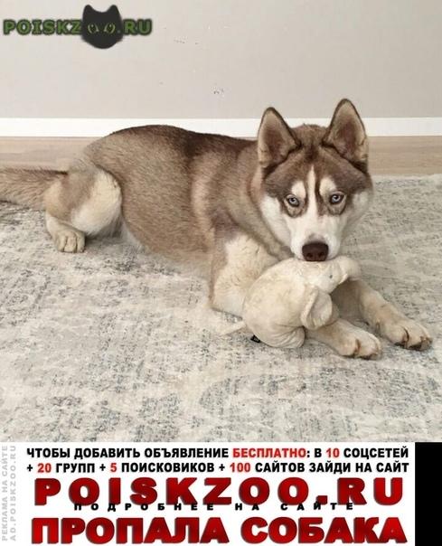 Пропала собака кобель 9.08 хаски салтыковка г.Балашиха