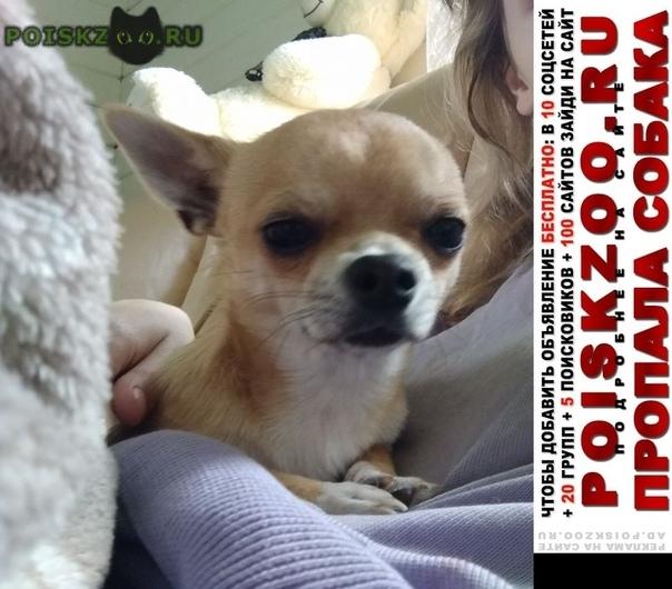 Пропала собака кобель чихуахуа г.Москва