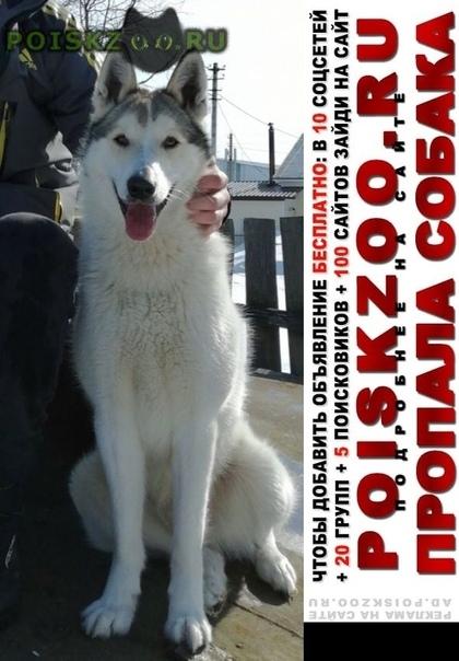 Пропала собака кобель 04.09.2019 пёс г.Добрянка