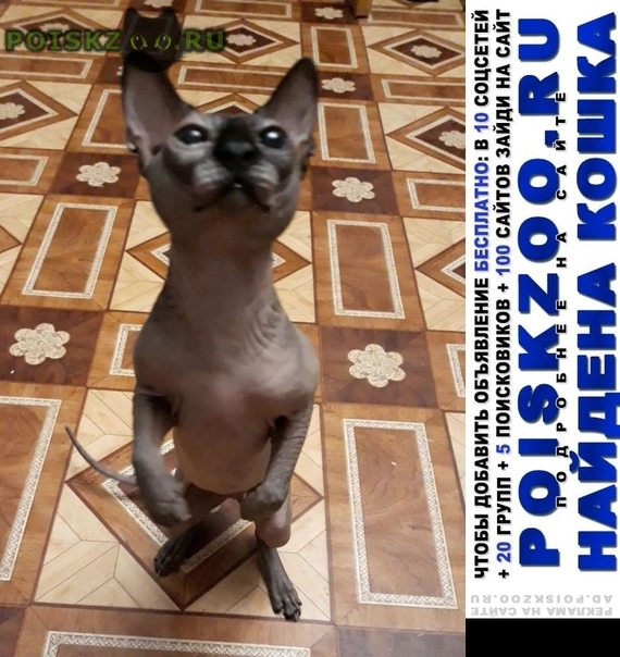 Найден кот сфинкс г.Солнечногорск