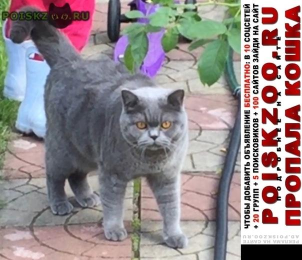 Пропал кот шотландской породы г.Электроугли