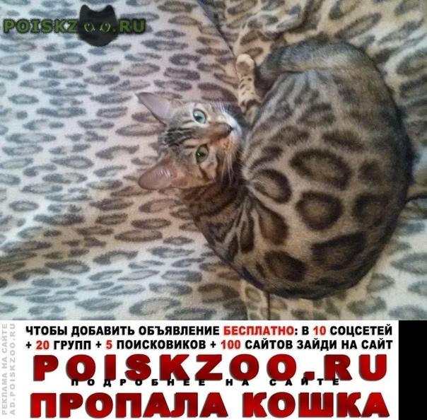 Пропала кошка бенгалка беремена г.Ярославль