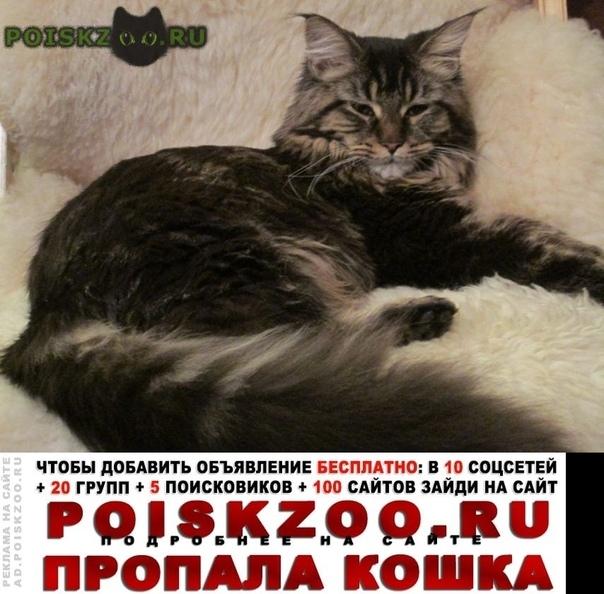 Пропала кошка мейн-кун г.Москва