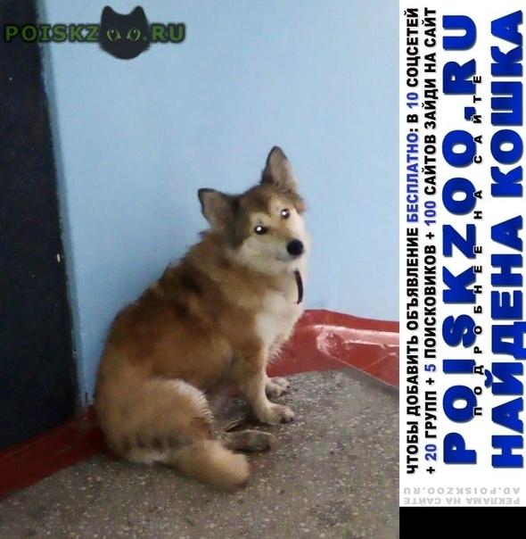 Найдена собака сучка, рыжий окрас. возможно кто то ищет г.Омск
