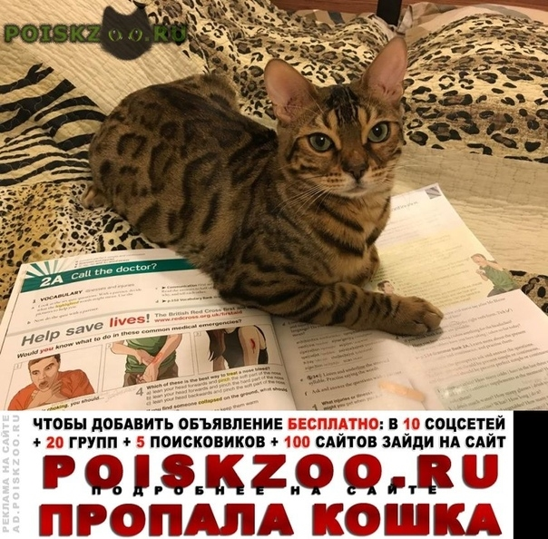 Пропала кошка кот бенгальской пароды г.Обнинск