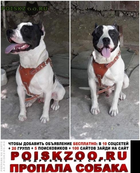 Пропала собака кобель питбуль, член семьи г.Шымкент (Чимкент)