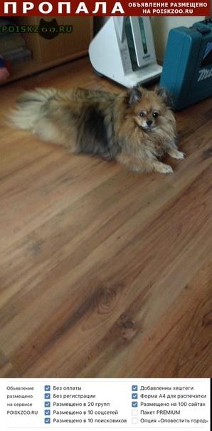 Пропала собака собока породы шпиц г.Екатеринбург