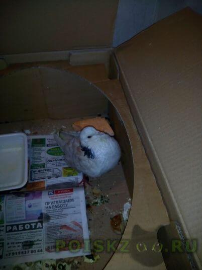 Найдено домашнее животное голубь ручной окольцованный г.Санкт-Петербург