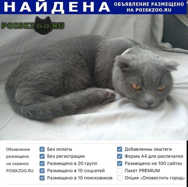 Найдена кошка шотландская в ухая серого окраса Ростов-на-Дону