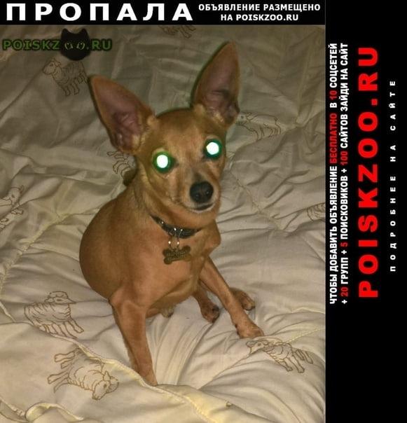 Пропала собака кобель той-терьер в массиве кобрино г.Гатчина