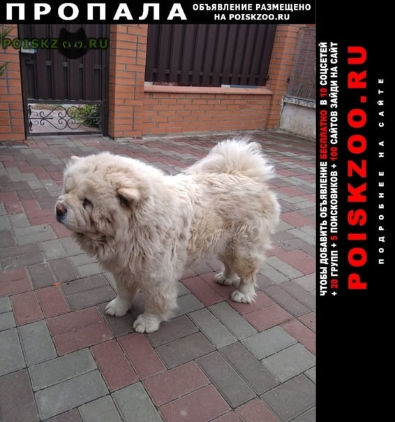 Пропала собака чау-чау г.Ростов-на-Дону